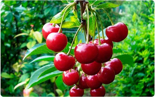 свойства вишни