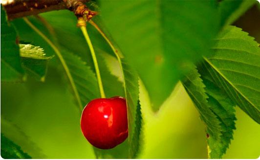 листья вишни, полезные свойства