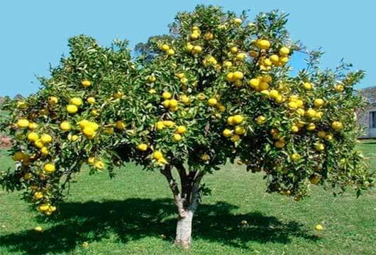 дерево-грейпфрут